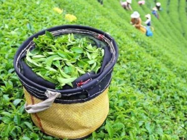 Gürcüstan Azərbaycandan çay idxalını artırıb