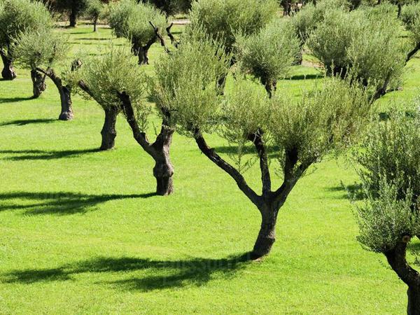 TAP konsorsiumu İtaliyada tikinti zamanı köçürülmüş zeytun ağaclarını yerinə qaytarıb