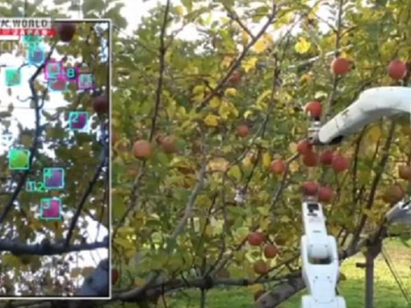 Yaponiyada meyvəyığan robot fermerlərə məhsulu toplamaqda yardım edəcək