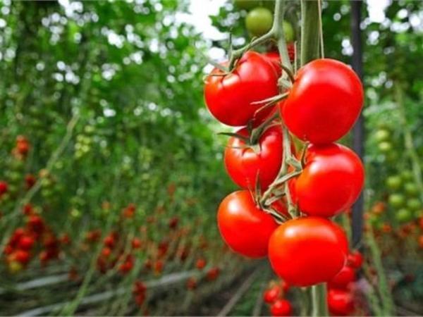 Yerli pomidorlarda qonur qırışıqlıq virusu aşkarlanmayıb