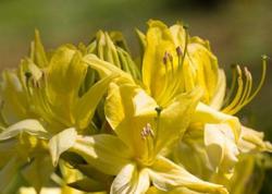 Sarı xanıməli bitkisinin faydaları