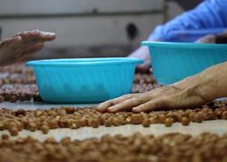 Zaqatalada yeni fındıq emalı fabriki yaradılır