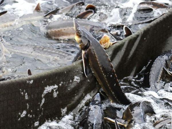 Arazda balıq ehtiyatları niyə azalıb? - VİDEO