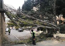 Bakıda külək 14 ağacı aşırdı