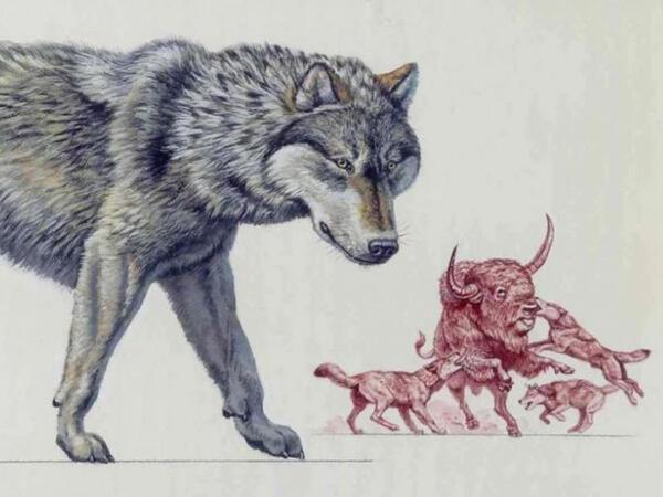 Alimlər canavarların buz dövründə sağ qalmasının səbəbini izah ediblər