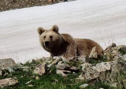 """Naxçıvanda ayılar fotoqrafa hücum etmək istədi, <span class=""""color_red"""">maraqlı görüntülər ortaya çıxdı - FOTO</span>"""
