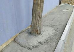 Bakıda bəzən ağacların dibi betonlanır - İdarə rəisi