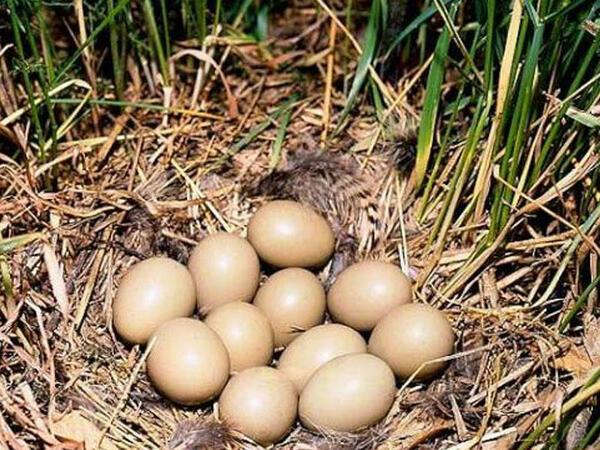 Qırqovul yumurtasının faydaları