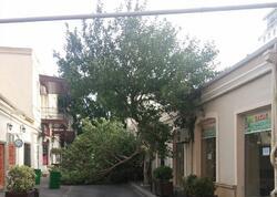 Bakının mərkəzində ağac aşıb - FOTO