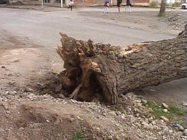 Güclü külək Bakıda 46 ağacı aşırtdı