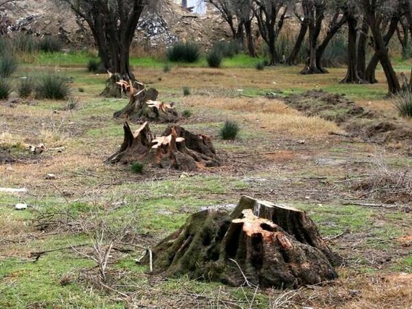 Tikintiyə görə ağacları kəsənlər axtarılır