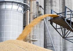 Dünyada buğda istehsalı azalır - ABŞ Kənd Təsərrüfatı Nazirliyi