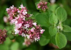 Qaraqınıq bitkisinin faydaları