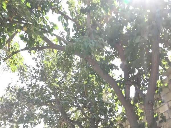 """Tut ağacı boyunca uzanan problemlər - <span class=""""color_red"""">VİDEO</span>"""